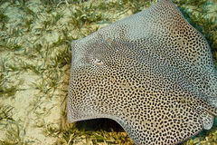 Darkspotted stingray. (himantura uarnak)taken at Na'ama bay, sharm el sheikh Royalty Free Stock Image