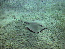 Darkspotted stingray (Himantura uarnak) swimming over the sea bo Royalty Free Stock Photos