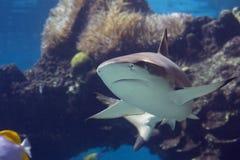 Darktip. Blacktip Reef Shark (Carcharhinus melanopterus) swimming over tropical coral reef royalty free stock image