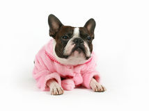 Darling!. A boston terrier dressed in a pink coat Stock Photography