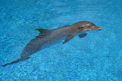Darling Dolphin. A dolphin shows off in a swimming pool stock image