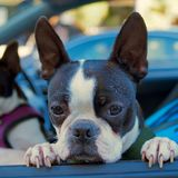 Darling Handsome Black & Wit Boston Terrier Royalty-vrije Stock Afbeeldingen