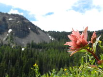 Darling Mountain Indian Paintbrush stockfotografie