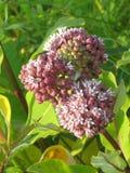 Darlington Park Milkweed blüht 2015 Lizenzfreie Stockfotografie
