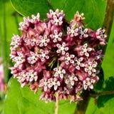 Darlington Park Milkweed-bloem 2015 Stock Fotografie