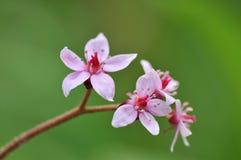 Darmera peltata, umbrella plant Royalty Free Stock Photo