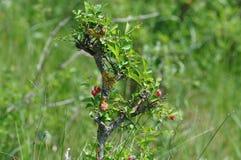 Darmozjad na liściach zdjęcie royalty free