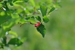 Darmozjad na liściach zdjęcie stock