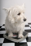 Darn, time to diet. West Highland Terrier standing on a scale Royalty Free Stock Photo
