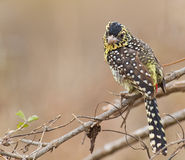 D´Arnaud´s Barbet perching on branch Royalty Free Stock Images