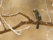 D´Arnaud´s Barbet perching in the sun Stock Photos