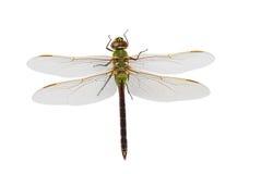 darner蜻蜓绿色 库存照片