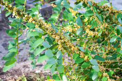 Darra släktet Cuscuta är parasitiska växter Royaltyfri Fotografi
