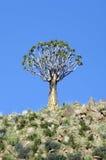 Darra treen i Namibia Royaltyfri Fotografi