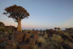 Darrningträd Arkivbilder