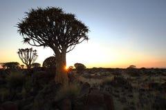 Darrningträd på solnedgången Arkivbild