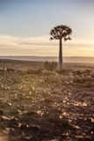 Darrningträd silhouetted mot en ökensolnedgång Arkivbilder