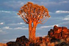 DarrningTree (Aloedichotomaen) Royaltyfri Foto