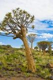 DarrningTree i Namibia Fotografering för Bildbyråer