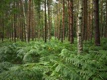 Darss森林 免版税图库摄影