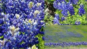 Darstellendes Texas Bluebonnet-Videofeld des geteilten Bildschirms im Frühjahr stock video footage