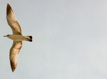 Darstellungshintergrund des Vogels im Flug - Stockfotografie