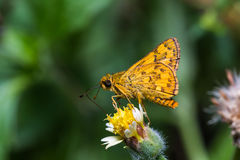 Dart butterfly Stock Images