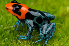 Dart frog Stock Photo