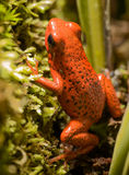 Dart Frog royalty free stock images
