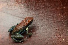 Dart frog Ameerega bilinguis a small dendrobatidae from the tropical Amazon rain forest. Of Colombia and Ecuador stock photography