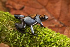 Dart frog, Oophaga histrionica. A poisonous animal from the jungle of Colombia. A poison dartfrog with bright blue warning colors stock photography