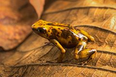 Dart frog Oophaga histrionica from the tropical rain forest of Colombia. A poisonous small jungle animal stock image