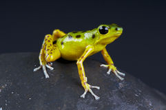 Dart frog / Oophaga pumilio Stock Photo