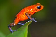 Free Dart Poison Frog, Blue Jeans, Tropical Rainforest, Costa Rica Stock Photography - 214189642