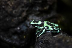 Dart Poison Frog - Dendrobates auratus stock image