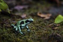 Dart Poison Frog - Dendrobates auratus royalty free stock photography