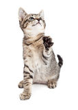 Dartel Kitten Batting With Paw Royalty-vrije Stock Foto