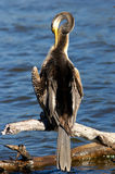 Darter. Found most places in Australia except arid inland regions, the Darter lives around saltwater and freshwater lakes, creeks and estuaries, It's main diet Stock Images
