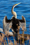 Darter Stock Images