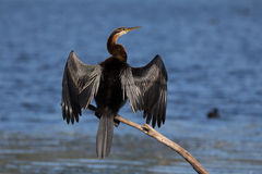 Darter africain Photo stock