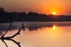 Darter africano che si siede sul ceppo di albero in stagno al tramonto Immagini Stock Libere da Diritti