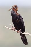 Darter africano (rufa do anhinga) Foto de Stock Royalty Free