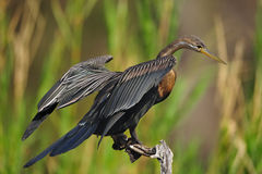Darter africano (rufa do Anhinga) Foto de Stock
