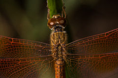 Darter Amarelo-voado libélula foto de stock royalty free
