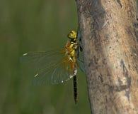 Darter Amarillo-con alas, Geelvlekheidelibel, flaveolum de Sympetrum foto de archivo libre de regalías