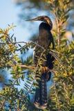 Darter ( Anhinga melanogaster ). Snakebird (Anhinga) Stock Photo