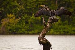 Darter Australasian que seca suas asas Fotografia de Stock Royalty Free