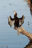 Darter Stock Photography