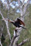 Darter australiano (Anhinga Melanogaster) Imagen de archivo