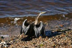 Darter bird Royalty Free Stock Photography